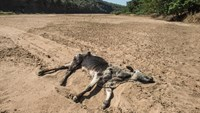 The carcass of a dead cow lies in the Black Umfolozi River, dry from the effects of a severe drought north of Durban, South Africa on November 9, 2015