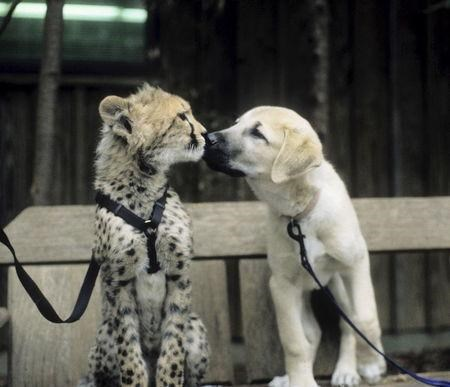 Sarah the cheetah is seen as a young cub with her puppy companion at the Cincinnati Zoo in Cincinnati, Ohio .