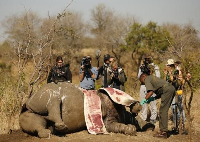 Members of the media film as a ranger performs a post mortem on the carcass of a rhino after it was killed for its horn by poachers at the Kruger national park in Mpumalanga province August 27, 2014.