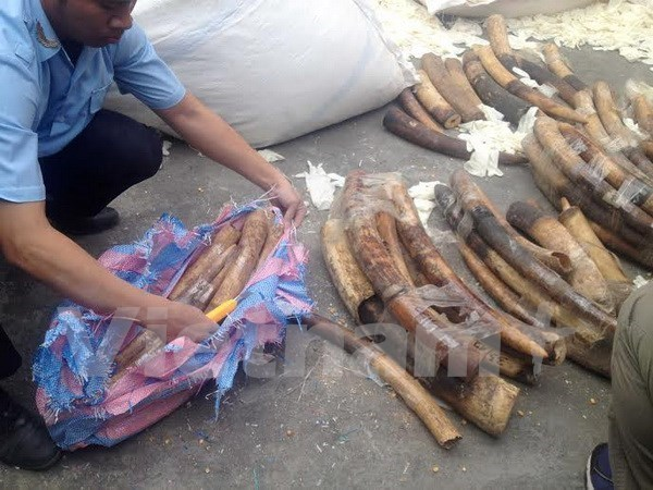 Smuggled elephant tusks are seized at Noi Bai airport. Photo: VNA