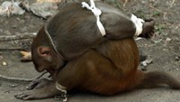 A captured monkey tries to untie the cord around its ankles after capture in Mumbai on Febraury 5, 2016