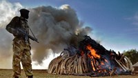 Experts say that international criminal gangs control the ivory trade, pushing Africa's elephants towards extinction