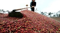 Vietnam coffee exports could drop 25 pct in 2016