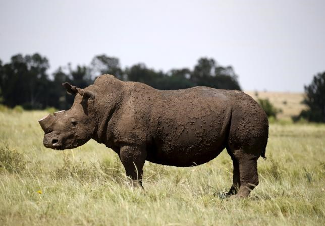 A rhino is seen after it was dehorned in an effort to deter the poaching of one of the world's endangered species, at a farm outside Klerksdorp, in the north west province, South Africa, in this February 24, 2016 file photo.