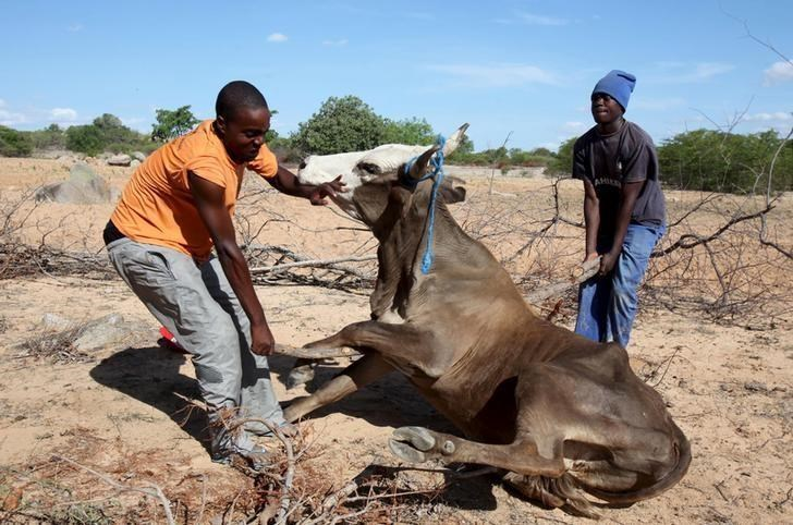 Men attempt to get a malnourished cow on its feet in rural Masvingo, Zimbabwe.