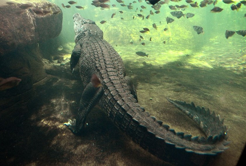 Crocodiles are common in Australia's tropical north and they kill an average of two people each year
