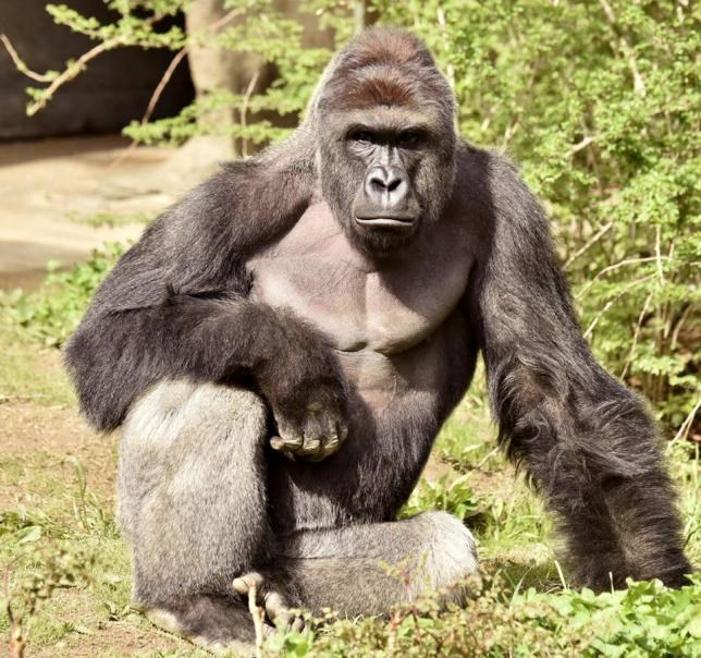 Harambe, a 17-year-old gorilla at the Cincinnati Zoo is pictured in this undated handout photo provided by Cincinnati Zoo.