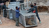 Wildlife officials use a tunnel of cages to capture a tiger and remove it from an enclosure in a temple in western Thailand on May 30, 2016