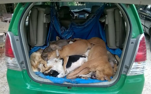 A photo supplied by police of Quang Nam Province shows the stolen dogs transported in a car on April 29, 2016. Photo credit: Nguoi Lao Dong