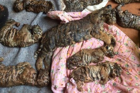Dead tiger cubs are displayed by Thai officials after they were found in a raid on the controversial Tiger Temple, in Kanchanaburi