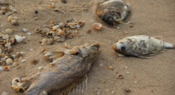 Dead fish found on the beach in Ky Anh Town, Ha Tinh Province. Photo: Nguyen Dung/Thanh Nien