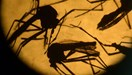 The Zika virus is mainly spread via the bite of the Aedes aegypti mosquito