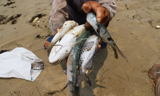 A villager shows dead fish he collected on a beach in Phu Loc district, in the central province of Thua Thien Hue in April. Photo: AFP