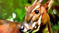 Saving the Saola: a 20th century discovery, a 21st century challenge