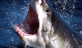 South Africa's great white sharks could die out: study