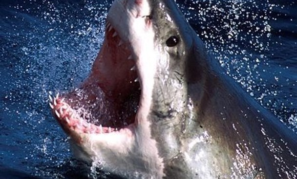 Great White shark in a file photo. REUTERS/Seachangetechnolgy