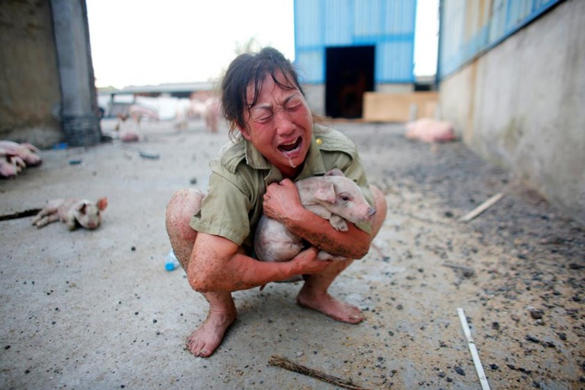 A woman cries as she holds a pig rescued from a flooded farm in Xiaogan, Hubei Province, China, July 22, 2016.