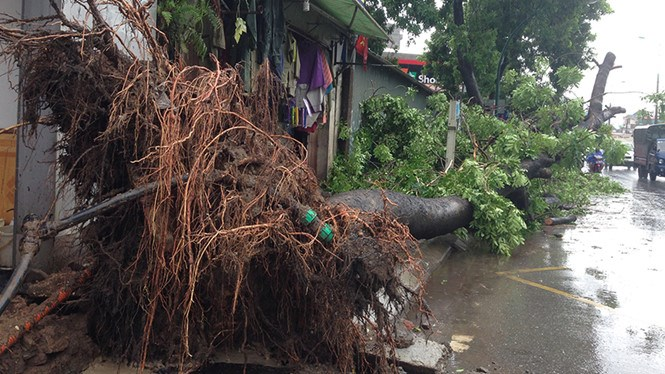 A tree was uprooted when typhoon Mirinae hit Hanoi