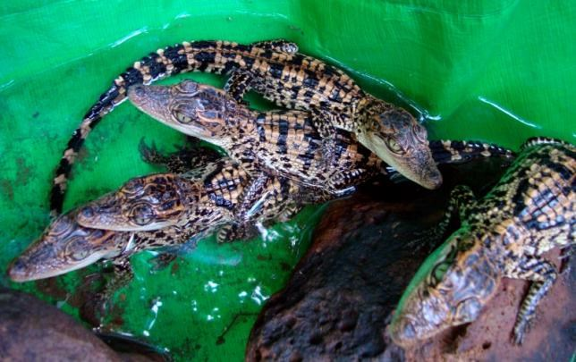 Rare baby Siamese crocodiles are seen at Thmor Daun Pove's natural resource protection community in Kho Kong province, 400 km (249 miles) southwest of Phnom Penh, June 19, 2010.