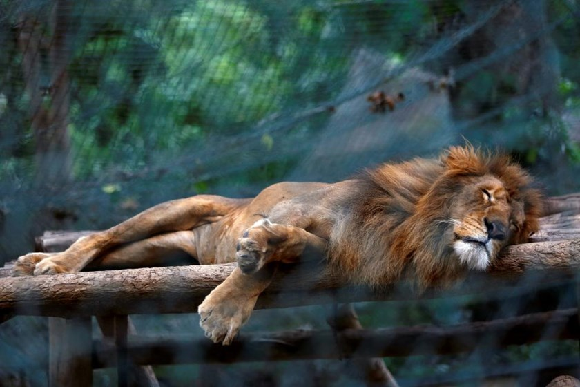 A lion sleeps inside a cage at the Caricuao Zoo in Caracas, Venezuela.