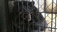 Moon bear rescued in Vietnam after being caged for over a decade