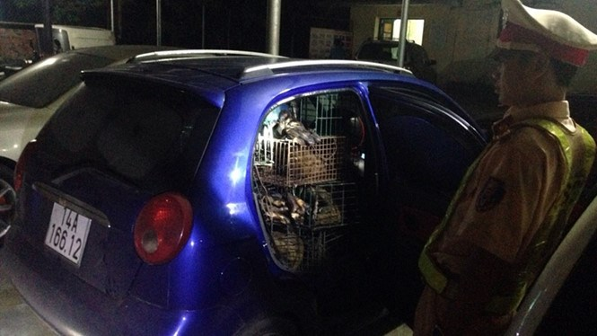 Cages of Large Indian civets inside a car, which was stopped by police in Quang Ninh Province on Saturday.