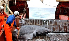 Long in the tooth: the Greenland shark may live four centuries