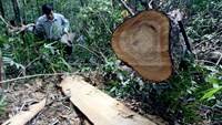 A felled Fujian cypress tree in Nam Giang Province