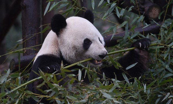 The cornerstones of the Chinese effort to bring back its pandas have included an intense effort to replant bamboo forests, which provide food and shelter for the bears