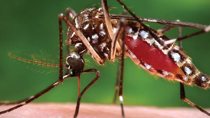 Genetically modified mosquitoes that only produce male offspring could curb the spread of malaria. Photo credit: AAP