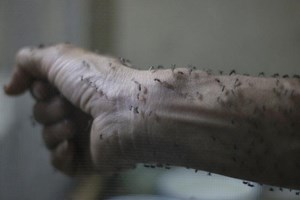 The forearm of a public health technician is seen covered with sterile female Aedes aegyti mosquitoes after leaving a recipient to cultivate larvae, in a research area to prevent the spread of Zika virus and other mosquito-borne diseases, at the entomology department of the Ministry of Public Health, in Guatemala City, January 26, 2016. Photo: Reuters/Josue Decavele