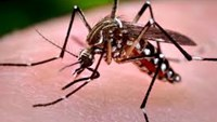 Aedes aegypti mosquitoes are seen at the Laboratory of Entomology and Ecology of the Dengue Branch of the U.S. Centers for Disease Control and Prevention in San Juan, March 6, 2016. Photo: Reuters/Alvin Baez