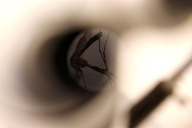 A mosquito is seen under a microscope at the Greater Los Angeles County Vector Control District in Santa Fe Springs, California, U.S., May 18, 2016. Photo: Reuters/Lucy Nicholson