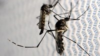 Aedes aegypti mosquitoes are seen inside Oxitec laboratory in Campinas, Brazil, February 2, 2016. Photo: Reuters/Paulo Whitaker