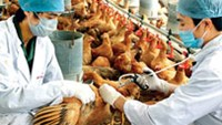 11 Vietnam provinces report bird flu outbreaks