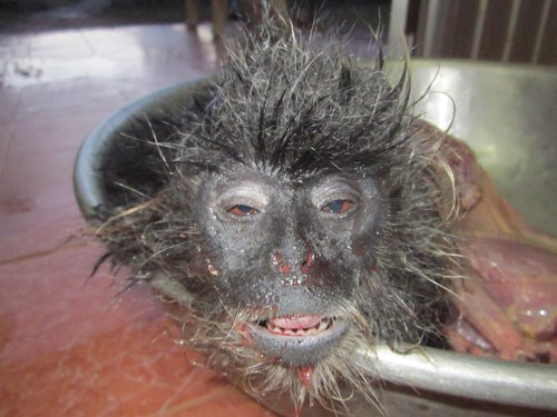 The carcass of an Indochinese silvered langur found in Phu Quoc National Park on July 30, 2013