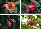 New flower species found in southern Vietnam