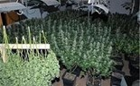 6 Vietnamese arrested in Japan for allegedly growing cannabis