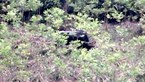 A gaur was spotted wandering near a forest in the south central province of Quang Nam earlier this month