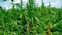 Vietnam police uproot cannabis plants from mango orchard