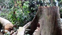 A Malva nut tree being cut off by illegal loggers in a Quang Nam forest. Photo credit: VnExpress
