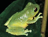 New tree frog species found in Vietnam