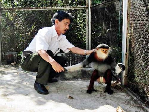 The douc langur released to Son Tra Peninsula in Da Nang City on Thursday. Photo: Phan Duong