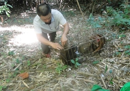 A ranger at Pu Mat National Park in Nghe An Province releases three stump-tailed macaque individuals to the wild. Photo credit: Nguoi Lao Dong