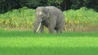 Vietnam province to set up wild elephant conservation project