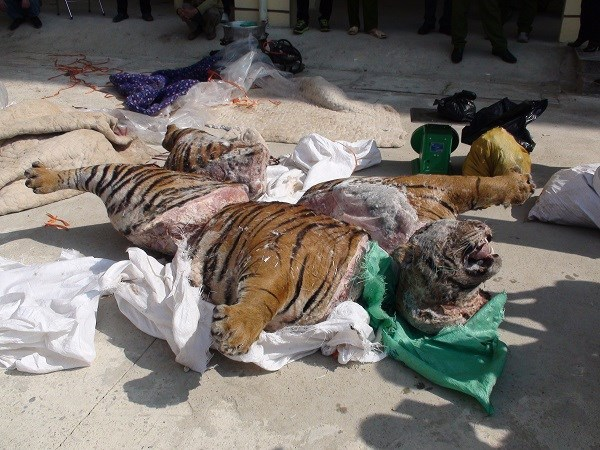 The frozen severed carcass of a 303-kilogram tiger seized by Bac Kan police on Thursday. Photo provided by Bac Kan police