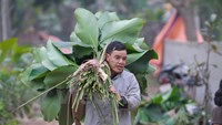 Hanoi village harvests wrapping leaves for Tet