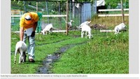 Goats kept in a park in Minokamo, Gifu Prefecture, of Japan for a research on weeding in 2013. Photo credit: Asahi Shimbum