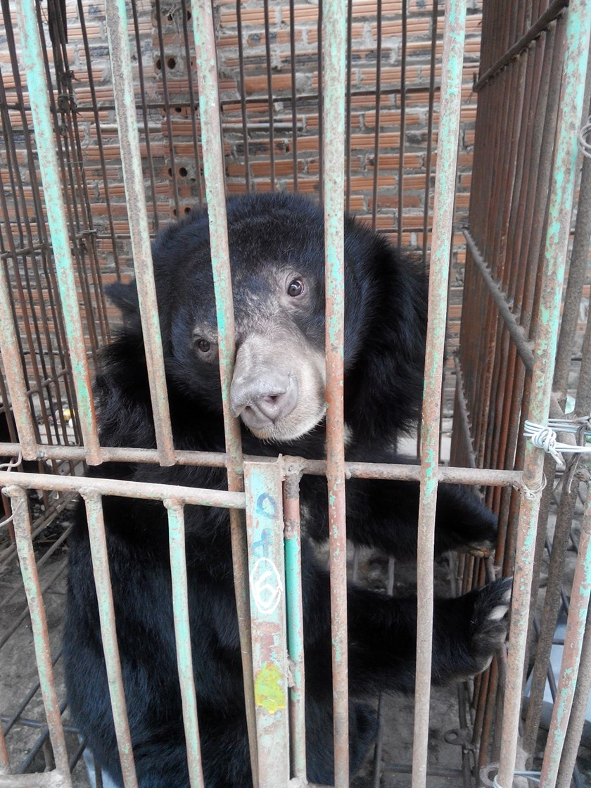 A captive bear in Ha Long. Photo credit: ENV