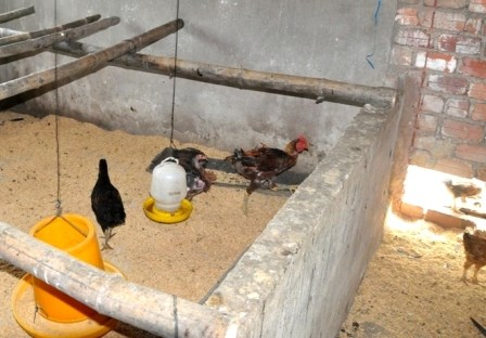 Some chickens raised in the house of a Que An Commune official. Photo credit: Dan Tri